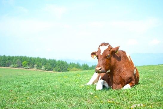 ITドナドナ牛